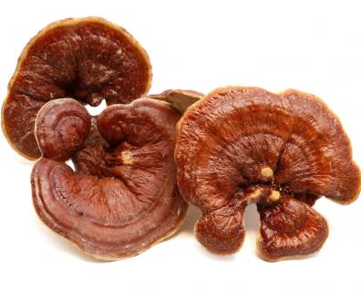 Ganoderma lucidum - A Pharmaceutical Mushroom