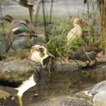 Υδροβιότοπος (λεπτομέρια) - διοράματα Μουσείο Φυσικής Ιστορίας Μετεώρων