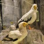 Γύπας Ασπροπάρης - διοράματα Μουσείου Φυσικής Ιστορίας Μετεώρων